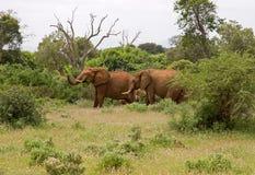 African elefant. Big wild mammal Royalty Free Stock Image