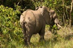 African elefant. Big wild mammal Stock Photos