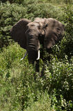 African elefant Stock Photography