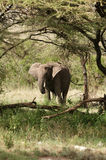 African elefant Royalty Free Stock Photography