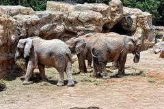 African elephant�s family in natural environment standing under Stock Image