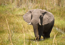 African Elephant #1. African Elephant (Loxodonta Africana) is enormous and unmistakable as the largest land animal on earth.  Adults have a life expectancy of 60 Royalty Free Stock Images