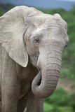 African elephant. Close-up of an african elephant, south africa Stock Photography
