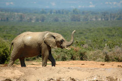 African elephant. An active African elephant bull walking with his big trunk, ears and tusks to a water hole in a game park in South Africa. A herd of other royalty free stock photos