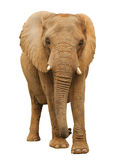African Elephant. Isolated African Elephant approaching fast Royalty Free Stock Photos