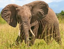 African elephant. Close-up of african elephant royalty free stock photography
