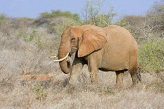 African elephant. Stock Image