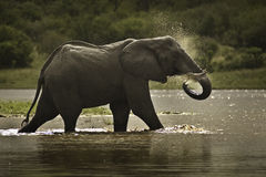 African Elephant. An African Elephant has a bath at a waterhole in the Kruger National Park Stock Photo