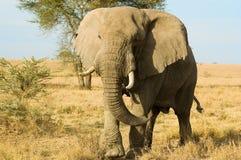 African elephant stock image