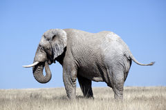 Free African Elephant Stock Photos - 15079423
