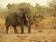 African Elephant. At the national Park Mole, Ghana, West Africa Royalty Free Stock Image