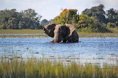 African Elephant Royalty Free Stock Image