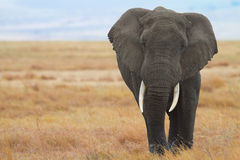 African Elephant. In free nature royalty free stock photography