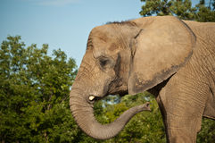 African Elephant. An African elephant with a broken tusk swings its trunk with green trees and blue sky in the background Royalty Free Stock Images