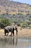 African Elephant. Royalty Free Stock Photography