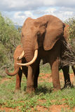 African Elephant. With calf covered in red mud, Tsavo National Park, Kenya Stock Photos
