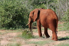 African Elephant. Young African Elephant covered in Red Mud, Tsavo National Park, Kenya Royalty Free Stock Photography