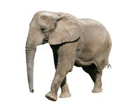 African elephant. Taking a step; clipping path royalty free stock photos