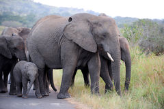 African elephant. A herd of African elephants on a road Stock Photo