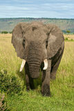 African elephant. Close-up of an African Elephant Royalty Free Stock Photo