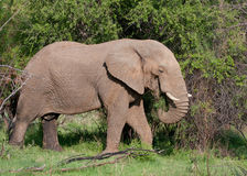 African Elephant. In Pilanesberg National Park, South Africa Stock Photos