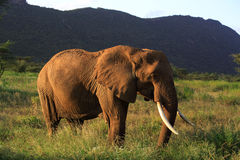 African Elephant. Samburu National Reserve Stock Image