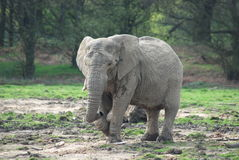 An african elephant Stock Images