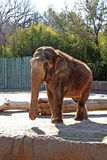 African Elephant. Large brown african elephant standing in the sunshine Royalty Free Stock Photos