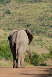 African Elephant. Elephant walking down dirt road Royalty Free Stock Images