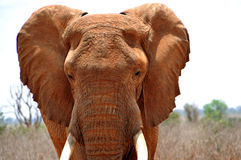 African elephant. In the Tsavo East National Park - macro picture royalty free stock photo