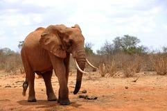 African elephant. In the Tsavo East National Park stock photos