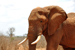 African elephant. In the Tsavo East National Park royalty free stock image