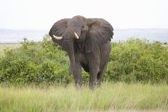 African Elephant Stock Photos