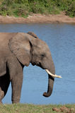 African Elephant. At waterhole in Addo Elephant Park, South Africa Stock Images
