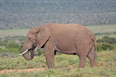 African Elephant. Drinking at waterhole in Addo Elephant Park, South Africa Stock Photography