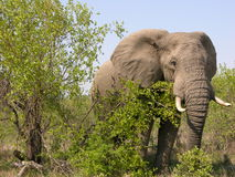 African elephant. Africa, safari, elephant behind bushes royalty free stock images