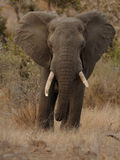 African Elephant. The African Savanna Elephant you can also call African Bush Elephant. This one is sleeping on a tree Stock Images