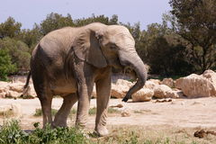 Free African Elephant Stock Photo - 22708210