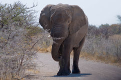 African elephant. Walking on the road at Etosha National Park, Namibia Stock Photos