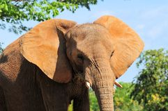 An African Elephant Royalty Free Stock Photography
