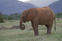 African Elephant. Young African elephant in natural habitat, green riverine pasture, Tsavo East National Park, Kenya Stock Photo