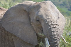 African Elephant. Shot in the Pilanesberg National park in South Africa Royalty Free Stock Photos