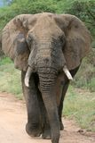 African elephant. In lake Manyara national park Tanzania stock image
