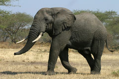 African Elephant Stock Images