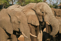 African Elephant #3. African Elephant (Loxodonta Africana) is enormous and unmistakable as the largest land animal on earth.  Adults have a life expectancy of 60 Stock Photography