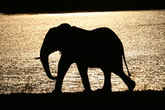 African Elephant. Bull at sunset walking along shores of lake Royalty Free Stock Images