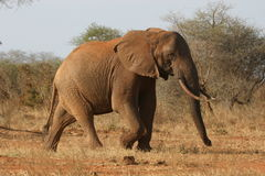 African Elephant. Walking through savanna royalty free stock images