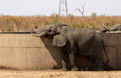 African Elephant. An African Elephant drinking water from a cement dam in times of drought Royalty Free Stock Images