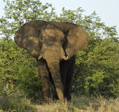 African Elephant. An African Elephant bull emerging from the Mopani-bushes in the Kruger National Park, South Africa Stock Photography