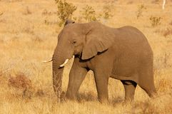 African Elephant. An African Elephant bull in the savannah of the Kruger National Park, South Africa Stock Image